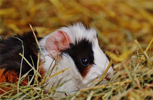 阿比西尼亚天竺鼠图片