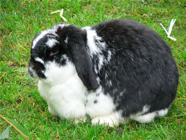 迷你垂耳兔图片