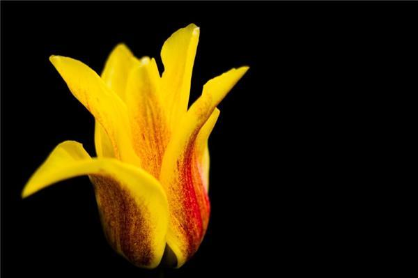 一朵美丽的郁金香图片