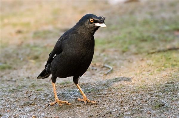 在野外觅食的黑八哥鸟图片
