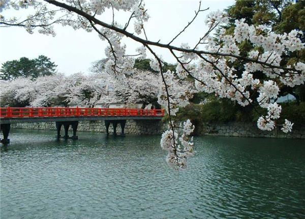 日本樱花风光图片精选