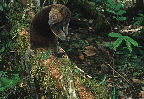 热带雨林拍摄的里亚树袋鼠图片