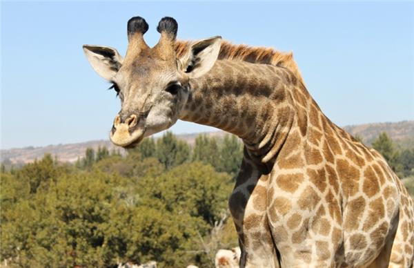 草原上野生的长颈鹿图片
