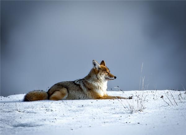 凶残的狼图片