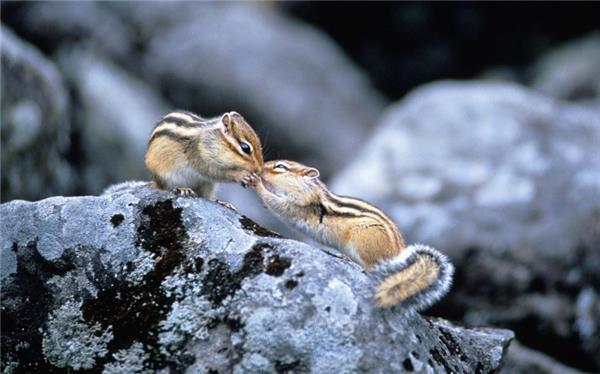 萌萌的金花鼠图片