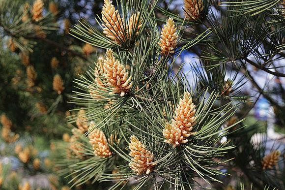 高原松树开花图片